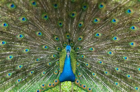panoramio photo of beautiful peacock with open tail feathers