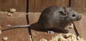 Comment Se Débarrasser Des Souris Dans Une Maison : comment se d barrasser des souris en 8 conseis infestation mtl ~ Nature-et-papiers.com Idées de Décoration