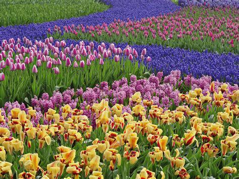 Tulip Garden  Wallpaper #31243