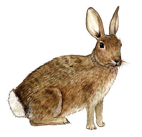 cuisiner le lapin de garenne lapin de garenne wiktionnaire
