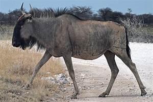 Etosha – Wildebeest | Namibia