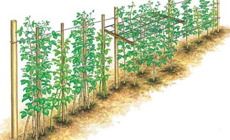 Garten Pflanzen Himbeeren by Himbeeren Richtig Schneiden Garden Kitchen Garden