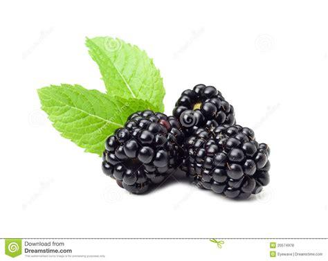 fresh blackberries fresh blackberries royalty free stock photos image 20574978