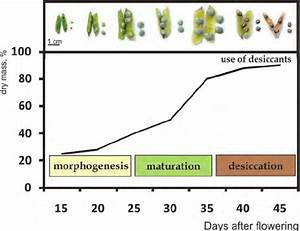 Basic Stages Of Seed Ontogenesis And Dry Mass Accumulation