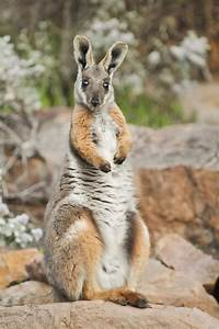 Yellow-footed Rock-wallaby | Yellow-footed rock wallaby ...