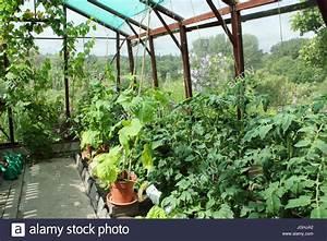 Gurken Pflanzen Gewächshaus : tomaten und gurken pflanzen in einem gew chshaus in einem englischen garten k che mittsommer ~ Pilothousefishingboats.com Haus und Dekorationen