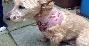 Yorkshire terrier suffers horrifying injuries after being ...