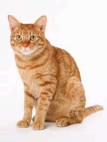 orange cats cat free stock photo an orange cat isolated on a white