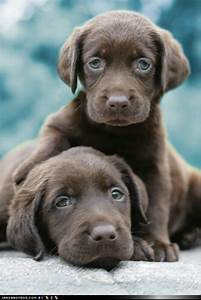 blue-eyed chocolate lab puppies! | My Dreams | Pinterest