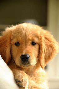 Golden Retrievers as Puppies