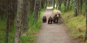 Grizzly Bears Follow Hiker