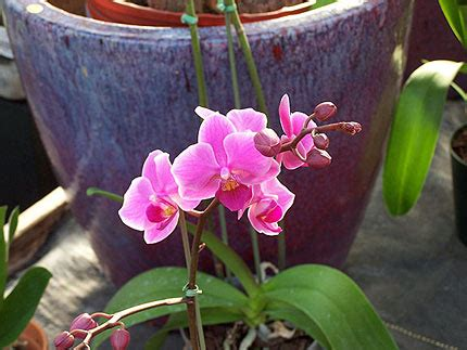 reblooming orchids phalaenopsis while waiting for spring 183 northwest eddy