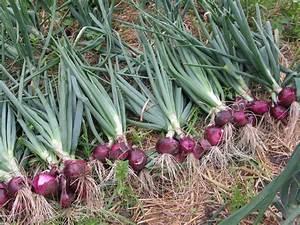 Red Onion crop from last season | The Chefs' Organic Garden