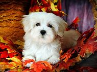 White Fluffy Puppy Maltese Dogs