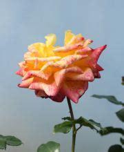 rindenmulch günstig kaufen beetrose the elizabeth rosa the elizabeth g 195 188 nstig kaufen