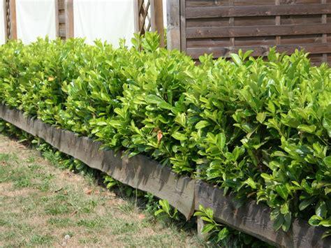 portugiesischer kirschlorbeer hecke kirschlorbeer lorbeerkirsche rotundifolia prunus laurocerasus rotundifolia baumschule