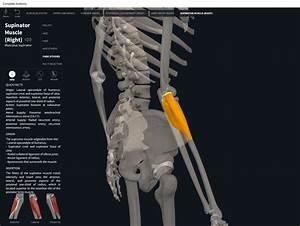Muscles  Supinator   U2013 Anatomy  U0026 Physiology