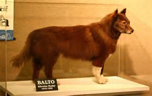 Real Life Balto Dog