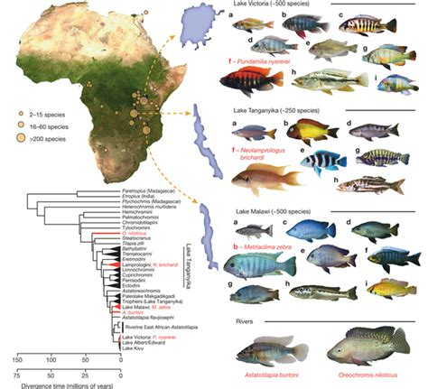 genetic polymorphisms contributed  african cichlid