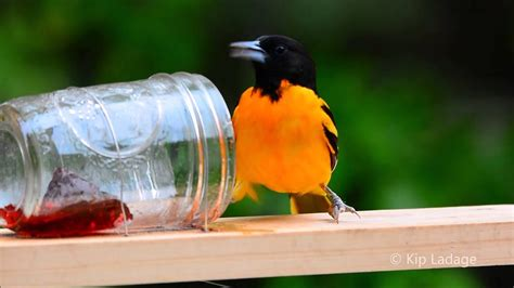 Oriole Feeder Grape Jelly by Baltimore Oriole At Grape Jelly Feeder 169 Kip Ladage