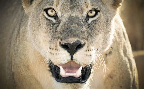 lioness wallpapers hd wallpapers id