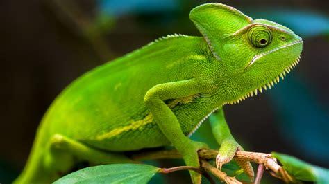 wallpaper chameleon green hd animals