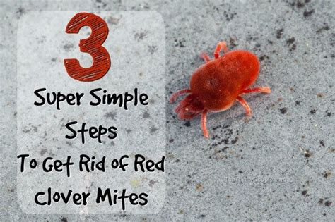 rid  clover mites  tiny red bugs