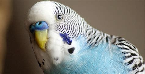 Budgies Or Budgerigars As Pets Petbirds