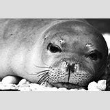 Mediterranean Monk Seal Food Web | 600 x 395 jpeg 165kB