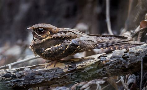 nightjar happy beaks