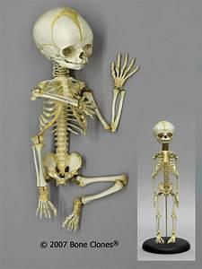 Articulated Flexible Human Fetal Skeleton 32 Weeks