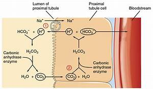 Kidney Function And Structure Insight