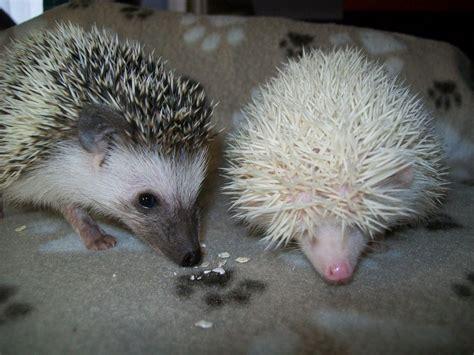pygmy hedgehog cute baby african pygmy hedgehog chatham kent pets4homes