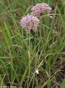 Allium Stellatum  Prairie Onion   Minnesota Wildflowers