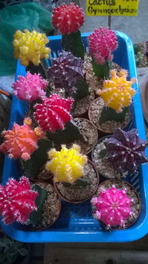 แคคตัส ยิมโนหัวสี (Cactus Gymnocalycium) (มีรูปภาพ) | ดอกไม้, ภาพวาด