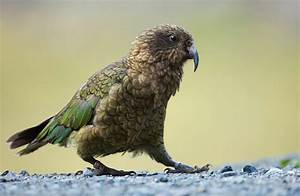 Kea: New Zealand native land birds