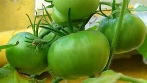 Truco para madurar los tomates verdes de forma rápida ...