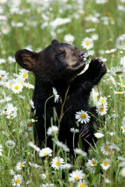 baby black bear smelling flowers luvbat