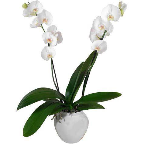 soigner une orchidee en pot soigner une orchidee en pot 28 images soigner les orchid 233 es en pot l atelier des fleurs