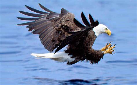 attack   bald eagle hunting  fish   lake