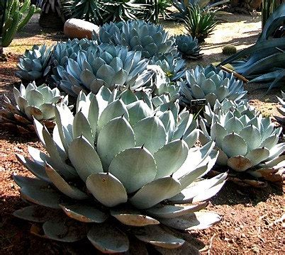 cold hardy agave artichoke agave agave parryi cold hardy succulent 10 seeds zones 5 to 11 desert garden