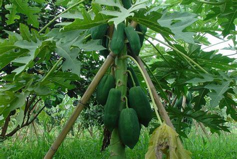 กรมวิชาการเกษตรเตือนเตรียมรับมือโรครากเน่าและโคนเน่ามะละกอ
