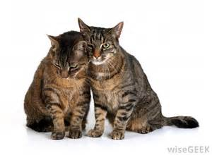 what is a tabby cat what is a tabby cat with pictures