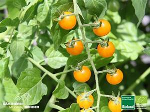 Tomaten Blätter Gelb : wildtomate 39 gelbe johannisbeere 39 gelb bioland ~ Frokenaadalensverden.com Haus und Dekorationen