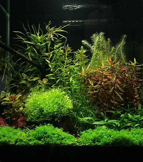 plante gazonnante que choisir flore aquatique plantes et algues d eau douce