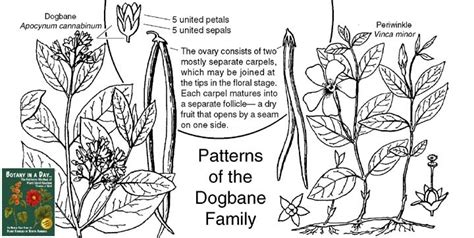 Anacardiaceae Diagram Of The Flower Floral by Apocynaceae Dogbane Family Identify Plants Flowers