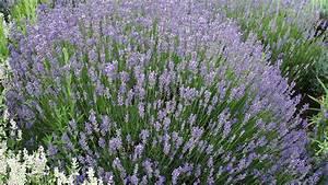 Wann Schneidet Man Hortensien Zurück : wann schneidet man lavendel lavendel schneiden wann ist ~ Lizthompson.info Haus und Dekorationen