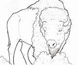 Buffalo Drawing American Native Moose Bedroom Water Painting Drawings Coloring Pages Bison Getdrawings Adult Printable Calf sketch template