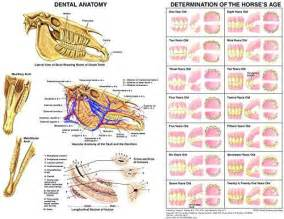 Equine Dental Anatomy And Aging Chart  U2013 Equine Network Store
