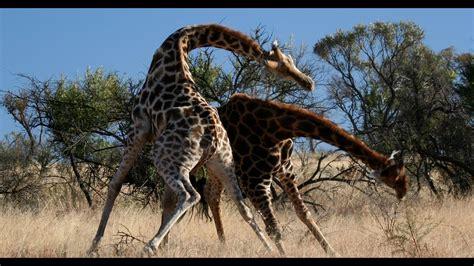 KNOCK DOWN! Brutal Giraffe Fight on Safari at Pilanesberg ...